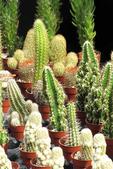 Cactus for Sale, Farmer's Market, Appleton, Wisconsin
