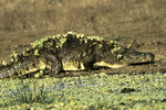 Crocodile with Water Lettuce, Kruger National Park, South Africa