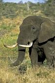 Elephant with Long Tusks, Kruger National Park, South Africa