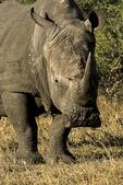 White Rhinoceras, Londolozi, South Africa