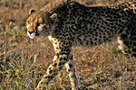 Cheetah on the Hunt, Namibia, Africa