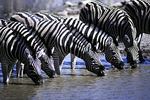 Zebra herd at water hole, Namibia, Africa