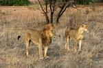 Lion Pair on Alert, Kenya, Africa