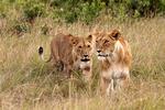 Lions hunting, Kenya, Africa