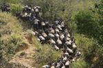Wildebeest Crossing Mara River, Kenya, Africa
