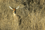 Steenbok in tall grass, Kruger National Park, South Africa