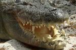 """Maximo"" Crocodile, Alligator Farm, St. Augustine, Florida"