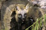Silver-back Fox pup in log, Vesper, Wisconsin