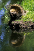 Porcupine with Reflection, Sandstone, Minnesota