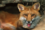 Red Fox in Den, Appleton, Wisconsin