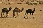 Camels in Desert, Morocco