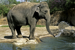 Elephant throwing water, St. Louis Zoo, St. Louis, Missouri