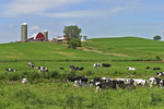 Monroe County Farm and cows, Wisconsin