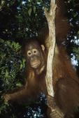 Orangutan in Jungle, Tanjung Puting National Park, Kalimatan (Borneo), Indonesia