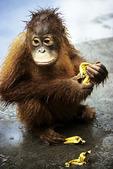 Orangutan with banana, Tanjung Puting National Park, Kalimatan (Borneo), Indonesia