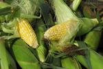 Corn for Sale, Farmer's Market, Appleton, Wisconsin