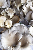 Oyster Mushrooms, Farmer's Market, Appleton, Wisconsin