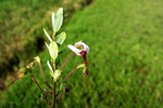 Cranberry Flower at Bog, Glacier Lake Cranberries, Wisconsin Rapids, Wisconsin