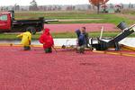 Workers in Cranberry Bog at Harvest, Glacier Lake Cranberries, Wisconsin Rapids, Wisconsin
