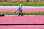 Cranberry Boom & Worker during Harvest in Fall, Wisconsin Rapids, Wisconsin