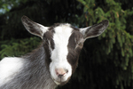 Friendly Goat, Wildwood Wildlife Park, Minocqua, Wisconsin