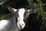 Friendly Goat, Wildwood Wildlife Park, Minocqua, Wisconsin