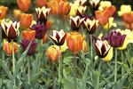 Tulip Garden, Boerner Botanical Gardens, Milwaukee, Wisconsin