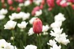 Coral Tulip in Flower Bed, Boerner Botanical Gardens, Milwaukee, Wisconsin