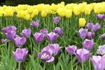 Purple and Yellow Tulips, Boerner Botanical Gardens, Milwaukee, Wisconsin