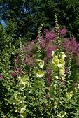 Yellow Hollyhocks in Garden, Green Bay Botanical Garden, Green Bay, Wisconsin