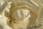 Whisper White Rose, Boerner Botanical Gardens, Milwaukee, Wisconsin