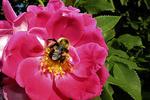 Bee on Wild Rose in Garden, Appleton, Wisconsin