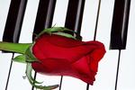 Piano Keys and Rose, Appleton, Wisconsin
