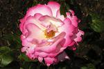 Knockout Pink tipped Rose, St. Helens, Oregon