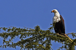 Fish Eagle, Kenya, Africa