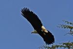 Fish Eagle Flying, Kenya, Africa