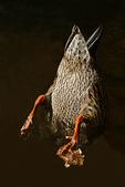 Duck Bottom, Fox River, Appleton, Wisconsin