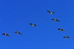 Pelicans flying over Sanibel Island, Florida