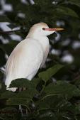 Cattle Egret in trees, Alligator Farm, St. Augustine, Florida
