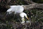 Great Egret with chicks at nest, Alligator Farm Rookery, St. Augustine, Florida