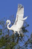 Great Egret landing in tree, Alligator Farm Rookery, St. Augustine, Florida