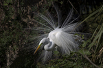 Great Egret in breeding plumage, Alligator Farm Rookery, St. Augustine, Florida