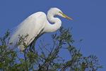 Great Egret in tree, Alligator Farm Rookery, St. Augustine, Florida
