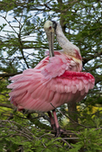 Roseate Spoonbill preening feathers, Alligator Farm Rookery, St. Augustine, Florida