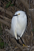 Snowy Egret in trees, Alligtor Farm Rookery, St. Augustine, Florida