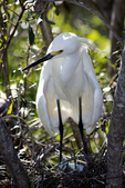 Snowy Egret at nest with eggs, Alligator Farm, St. Augustine, Florida