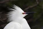 Snowy Egret closeup in swamp, Alligator Farm, St. Augustine, Florida