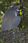 Tricolored Heron on Nest with Egg, Alligator Farm, St. Augustine, Florida