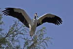 Wood Stork on Tree, Alligator Farm, St. Augustine, Florida