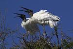 Wood Storks calling together, Alligator Farm, St. Augustine, Florida
